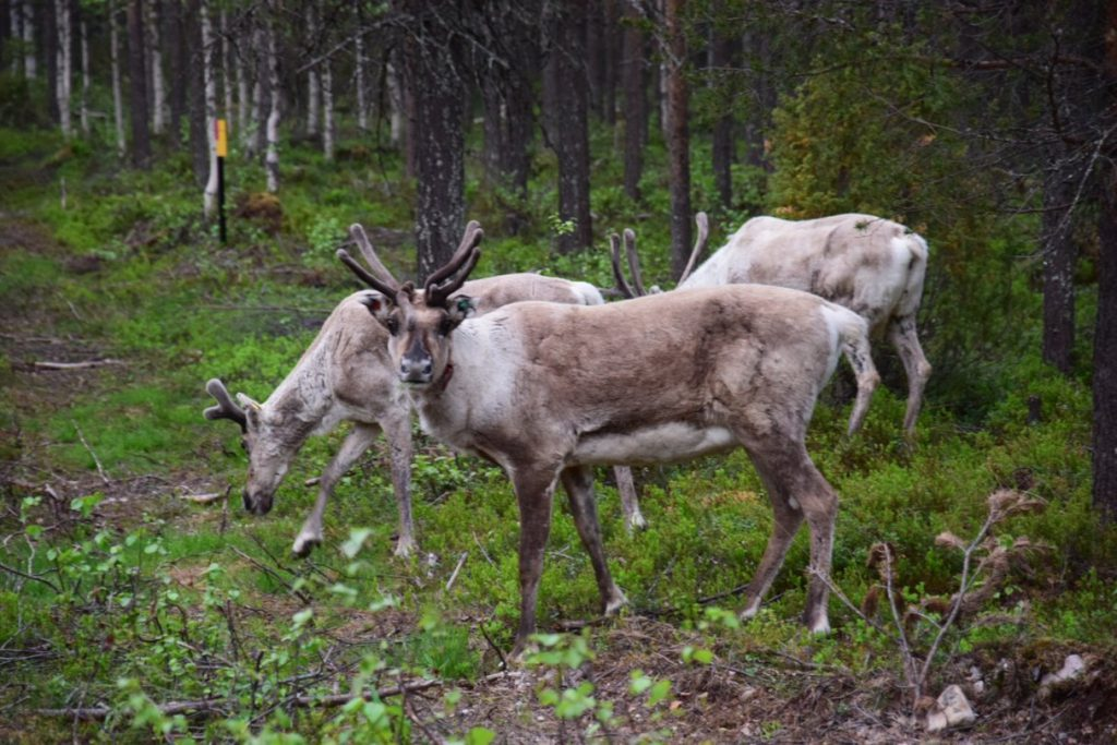 Coming across a flock of reindeer idly grazing on the side of the road as you are heading back to your hotel at 4 in the morning. That's Lapland for you